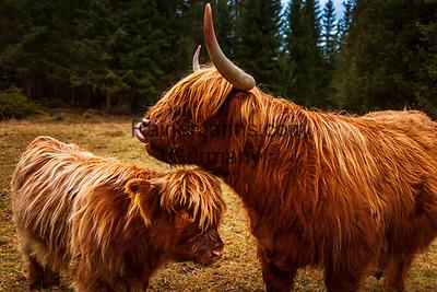 Italien, Suedtirol (Trentino - Alto Adige), St. Martin in Thurn - Ortsteil und Bergsteigerdorf Campill im Campilltal: Weiler Seres im Muehlental, in ladinischer Sprache 'Val di Morins' - Schottisches Hochlandrind, Highland Cattle oder Kyloe (Kuh und Kalb) ist eine Rasse des Hausrindes. Sie ist die aelteste registrierte Viehrasse | Italy, South Tyrol (Trentino - Alto Adige), Campill Valley (Val di Longiarù): mountain village Campill (Longiarù) - hamlet Seres at Mill Valley 'Val di Morins' - Highland cattle