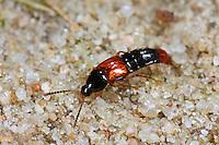 Kleiner Rotdeckenkurzflügler, Kleiner Rotdecken-Kurzflügler, Bryocharis analis, Bolitobius castaneus