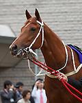 5 June 2011: Hong Kong's multiple G1 winner, Beauty Flash (NZ) races in the G1 Yasuda Kinen at Tokyo Racecourse in Japan.