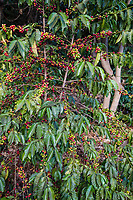 Tanzania, Karatu.  Coffee Tree with Berries (Cherries), Arabica Variety, Acacia Farm Lodge.