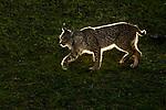 Iberian Lynx (Lynx pardinus) male, Sierra de Andujar Natural Park, Sierra de Andujar, Sierra Morena, Andalusia, Spain