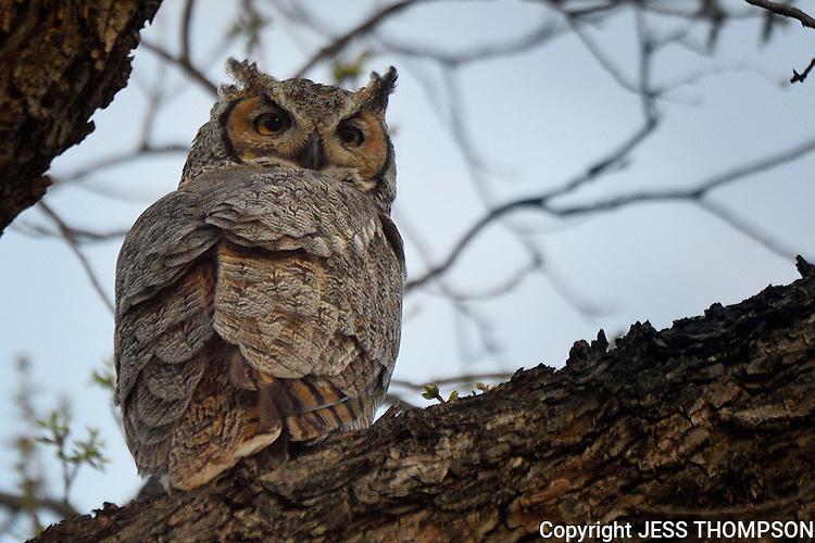 Great Horned Owl, San Angelo