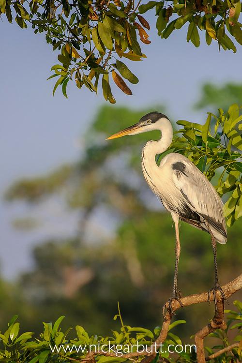 Male coqoi heron (Ardea coqoi) on branch overhanging the Cuiaba River, northern Pantanal, Mato Grosso, Brazil.