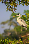Male coqoi heron (Ardea coqoi) on branch overhanging the Cuiaba River, northern Pantanal, Mato Grosso, Brazil.
