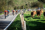 The peloton and the cattle race each other during Stage 10 of the Vuelta Espana 2020 running 187.4km from Castro Urdiales to Suances, Spain. 30th October 2020.   <br /> Picture: Unipublic/Charly Lopez | Cyclefile<br /> <br /> All photos usage must carry mandatory copyright credit (© Cyclefile | Unipublic/Charly Lopez)