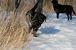 Black Labrador retriever in winter