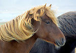 Icelandic horses on the west coast of Iceland tour with Páll Jökull Pétursson.(Bob Gathany)