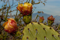 A flowering prickly pear, Opuntia, seen at Laguna Coast Wilderness Park.