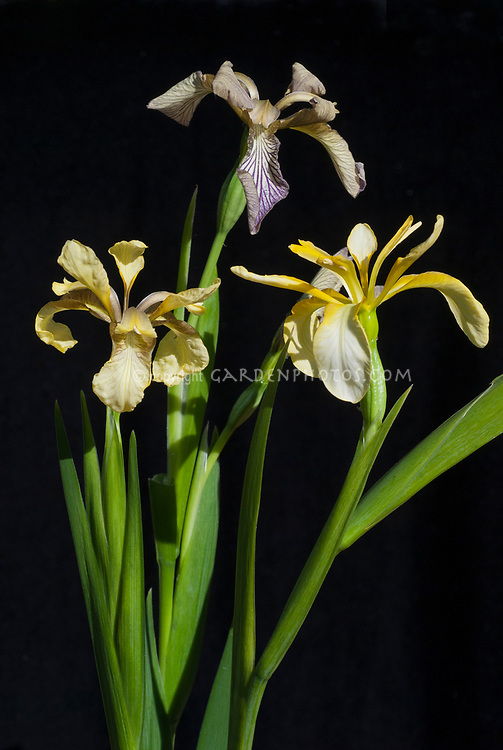 Iris foetidissima, three varieties, bluish at top, murky yellow at left, clear yellow at right