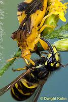 AM02-542z  Ambush Bug female, feeding on Sandhills Hornet prey with long sharp beak,  Phymata americana
