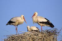 Weiss-Storch, Weissstorch, Weiß-Storch, Weißstorch, Storch, Paar, Pärchen, Altvögel und Küken auf Nest, Horst, Ciconia ciconia, white stork