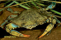 1Y34-039a  Blue Crab - Callinectes sapidus.