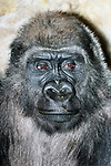 western lowland gorilla male close-up eyes right, vertical