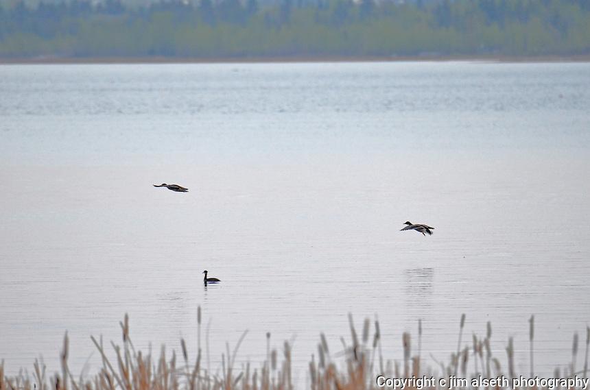 Some of the waterfowl of Gull Lake Alberta.