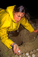 volunteer Dayna Coufal removes and counts eggs from nest of Australian flatback sea turtle, Natator depressus, Curtis Island, Queensland, Australia