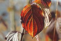 Blutroter Hartriegel, Herbstlaub, Blatt, Blätter, Cornus sanguinea, Common Dogwood, Dogberry, leaf, leaves, autumn, Cornouiller sanguin