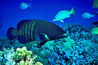 Peacock Grouper ( Cephalopholis argus ) swims over the Hawaiian coral reef.  Hawaiian name is ( roi )