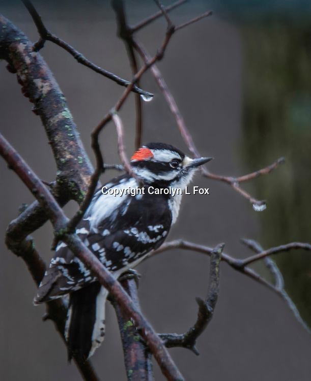 A downy woodpecker sits in a tree.