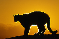 MR832  Mountain Lion or cougar (Felis concolor) silhoueted on ridge by morning sunrise.  Montana.  Winter.