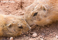 0721-1103  Black-tailed Prairie Dogs Greeting Each Other by Kissing, Cynomys ludovicianus  © David Kuhn/Dwight Kuhn Photography