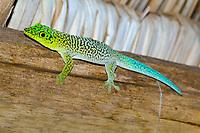 Standing's day gecko (Phelsuma standingi) on wooden beams under roof, Ifaty-Mangily, southern Madagascar, Madagascar, Africa