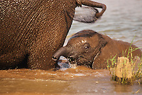 Very young african elephant calf wading in pond behind mother.  Africa.