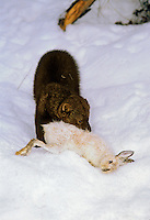 FISHER & SNOWSHOE HARE..Winter. Rocky Mountains..(Martes pennanti).
