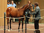 Hip #36 Henrythenavigator - Vertigineux 2011 filly consigned by Select Sales sold for $1,500,000 to Adena Springs at the Keeneland November Sale.  This filly is a sibling to 2010 Horse of the Year, Zenyatta. November 7, 2011.