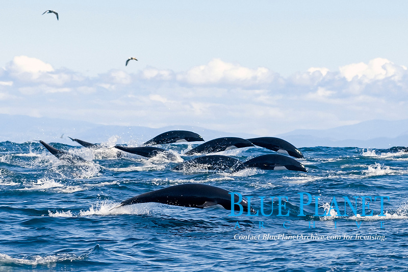 northern right whale dolphin, Lissodelphis borealis, porpoising to right on top of swell, mountain in background, Monterey Bay National Marine Sanctuary, California, USA, East Pacific Ocean