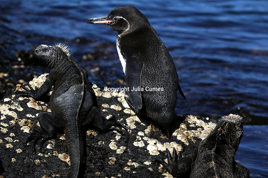 A galapagos penguin shares a rock with marine iguanas on Isabela Island in the Galapagos.