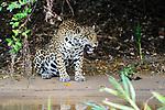Female Jaguar (Panthera onca palustris) sitting along the edge of the Cuiaba River. Porto Jofre, northern Pantanal, Mato Grosso State, Brazil.