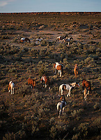 South Steen herd of mustangs moves through sage brush as evening approaches. <br /> This band of 18 is divided into several groups. Many young studs are coming of age and there were small challenges for dominance as the mares come into season. They drink at the waterhole and eat salt from the ground where they have carved out holes from an old lick.