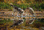 Grey wolves drinking from a stream, Minnesota