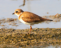 Adult semipalmated plover in winter plumage