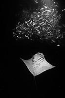 reef manta ray, Mobula alfredi, feeding on plankton attracted by lights placed by divers at night among schooling Hawaiian flagtail or aholehole, Kuhlia xenura ( endemic species), in Makako Bay, Keahole, Kona, Hawaii Island ( the Big Island ), Hawaii, USA ( Central Pacific Ocean )