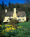 Grossbritannien, England, Somerset, Selworthy: Exmoor National Park, traditionelles Landhaus mit Reetdach | Great Britain, England, Somerset, Selworthy: Cream painted thatched cottage with Spring Daffodils