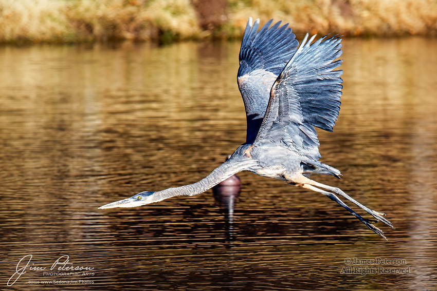Just Launched!  At the Bubbling Ponds Fish Hatchery in Page Springs, Arizona, a great blue heron skims the water while getting airborne after being flushed by a visiting birdwatcher.  At this facility, located along beautiful Oak Creek, many species of waterbirds and shorebirds can be observed taking advantage of the free meals and lodging that the facility (inadvertently) provides.<br /> <br /> Image ©2020 James D. Peterson