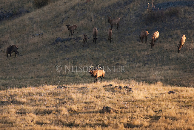 Bugling Bull Elk with his harem of cows in the fall rutting season in Montana