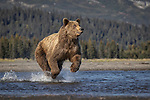 Pictured: The bear running towards the fish.  Sequence 1 of 10.<br /> <br /> A brown bear struggles to catch a thrashing salmon as the fish tries to escape its deadly paws.  The fish are a vital part of this young male's diet, providing up to nine pounds of fat each day which is necessary to survive the harsh Alaskan winter.<br /> <br /> Though the fish often slip away, this one was caught by the bear on his second attempt.  The photographs were taken by professional wildlife photographer Kevin Dooley in Southwest Alaska, in the United States.  SEE OUR COPY FOR DETAILS.<br /> <br /> Please byline: Kevin Dooley/Solent News<br /> <br /> © Kevin Dooley/Solent News & Photo Agency<br /> UK +44 (0) 2380 458800
