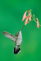 Black-chinned Hummingbird, Archilochus alexandri, male in flight feeding on Penstemon, Madera Canyon, Arizona, USA