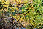 Fall color, Orton effect blur, Big Leaf Maple leaf on the ground at Lake Fenwick, a King County Park near Kent, WA, USA