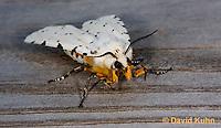 0510-1006  Salt Marsh Moth - Hodges#8131, Estigmene acrea  © David Kuhn/Dwight Kuhn Photography