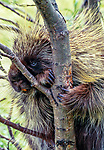 A North American Porcupine grasps a small tree trunk, Denali National Park, Alaska, USA.