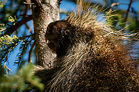 A porcupine feeds in a spruce tree in Anchorage's Far North Bicentennial Park.