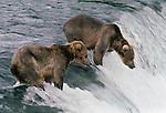 Brown bear, Brooks Falls, Katmai National Park, Alaska