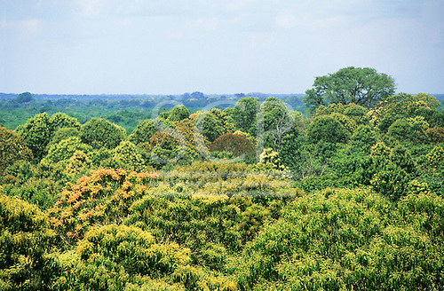 Ariau, Amazon, Brazil. View over the canopy of the rainforest with trees in flower.