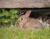 Young European rabbit in a garden, Lancashire.
