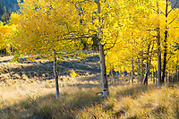 Aspen and grasses, late afternoon, near Kilpacker Basin trailhead
