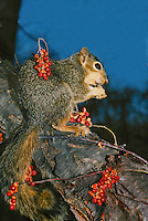 Eastern fox squirrel surrounded by wild bittersweet berries