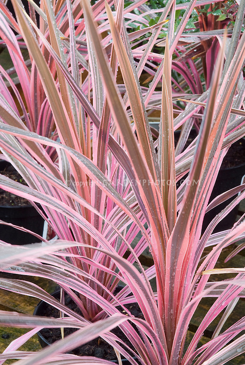 Pink & grey brown foliage of Cordyline 'Southern Splendor'